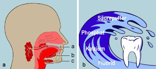 a) Große Speicheldrüsen in der Mundhöhle. Die größte und wichtigste Speicheldrüse ist die Ohrspeicheldrüse (Glandula parotis, a). Ihr Ausführungsgang endet gegenüber dem zweiten oberen Mahlzahn (Molar). Der Drüsenausgang der Unterkieferspeicheldrüse (Glandula submandibularis, c) endet unter der Zunge. Die Unterzungenspeicheldrüse (Glandula sublingualis, b) liegt innerhalb der Mundhöhle und wirft auf dem Mundboden eine Schleimhautfalte auf. b) Der Speichel enthält sämtliche Mineralien, die der Zahnschmelz für seine Härtung benötigt. Bei Mundtrockenheit fehlt diese Schutzfunktion. Das Kariesrisiko ist erhöht.
