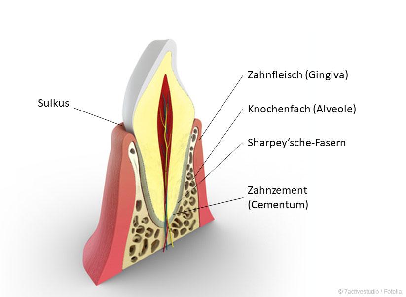 Der Zahnhalteapparat